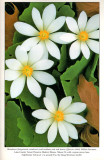 Bloodroot, Audubon Wildflower Calendar, 1995