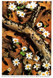 Fungus on Branch with Bloodroot, Sierra Club Engagement Calendar, 1993