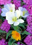 Dune primroses, sand verbena and desert sunflower, Anza Borrego Desert State Park, AZ