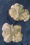 Pyrite suns, Sparta, IL