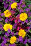 (DES 51) Phacelia, desert marigold, and penstemon, Florence Junction, AZ