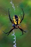 Argiope spider, Ridges Sanctuary, Door County, WI