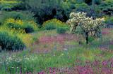 (DES 55) Desert annuals, Organ Pipe Cactus National Monument, AZ