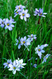 Blue-eyed grass, Chiwaukee Prairie, WI