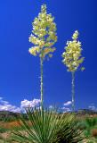 (DES 53) Yuccas, Yavapai County, AZ