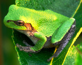 Tree frog, Nachusa Grasslands, IL