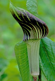 Jack-in-the-pulpit, Messenger Woods, IL
