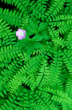 Geranium and maidenhair ferns, Mississippi Palisades State Park, IL
