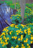 Marsh Marigolds, Whitefish Dunes State Park, Door County, WI