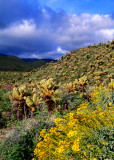Brittlebush, Arizona lupine, cholla cactus, and phacelia, Anza-Borrego Desert State Park, CA