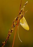Mayfly, Chiwaukee Prairie, Kenosha County, WI