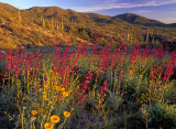 (DES 57) Penstemon and desert marigold near Superior, AZ