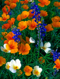 (DES 58) White and orange Mexican gold poppies and lupines, Bartlett Lake, AZ