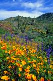 (DES 59) Poppies, lupines, chia,  and chuparosa, Bartlett Lake, AZ