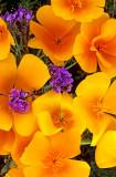 (DES 61) Phacelia and Mexican goldpoppies near Superior, AZ