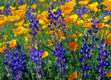 (DES 60) Lupines and poppies at Bartlett Lake, AZ