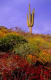 (DES 62) Chuparosa, poppies, and saguaro, Barlett Lake, AZ