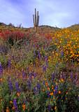(DES 64) Poppies, lupine, chuparosa, and brittlebush, Bartlett Lake AZ