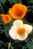 (DES 65) White and gold poppies, Barlett Lake, AZ