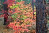(SED3) Fall in Oak  Creek Canyon, AZ