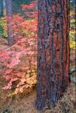 (SED7) Ponderosa Trunk & Big Tooth Maples,  Oak Creek Canyon, AZ