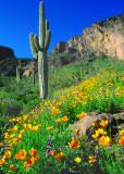 (DES2) Saguaro  & Poppies,  Picacho Peak S. P., AZ