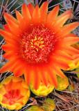 (C8) Barrel Cactus, AZ