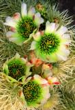 (C5) Cholla Cactus, AZ