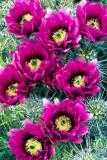 (C11) Hedgehog Cactus, AZ