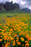 (DES5) Poppies, Lost Dutchman S. P., AZ