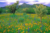 (DES4) Mexican gold poppies & lupines, Organ Pipe Cactus National Monument, AZ