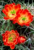 (C6) Claret Cup Cactus, AZ