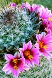 (C10) Pincushion Cactus, AZ