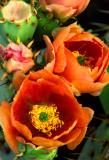 (C2) Orange Prickly Pear, AZ