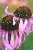 (PR9) Pale Purple Coneflowers, IL