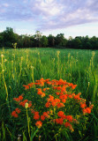 (PR18) Butterfly-weed and Rattlesnake Master, Somme Prairie, IL