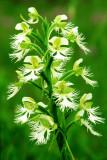 (PR21) Prairie White Fringed Orchid, Somme Prairie, IL
