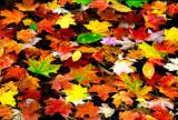 (NE4) Autumn leaves on pond, NH