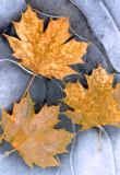(NE6) Leaves embedded in ice, VT