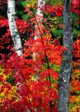 (NE11) Red maple  & birches ME