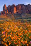 (DES9) Lost Dutchman Poppies at sunset, AZ