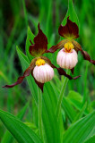 (O5) Andrews lady's-slipper, IL