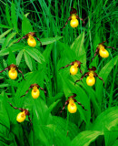 Small  Yellow Lady's-slippers, IL