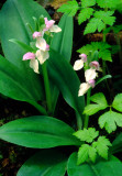(O11) Showy orchis, IL