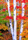 (NE17) Birch and maples, Crawford Notch State Park, NH
