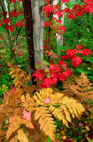 (MW14) Bracken fern and red maple, Ottawa N.F., MI