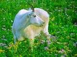 (CR31) Mountain goat, Glacier N. P., MT