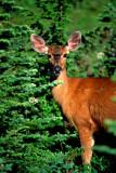 (CR33) Mule deer, Glacier N. P., MT