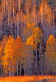 Heart Prairie aspens, near Flagstaff, AZ