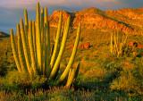 (DES45) Organ Pipe Cactus, Organ Pipe Cactus N. M., AZ